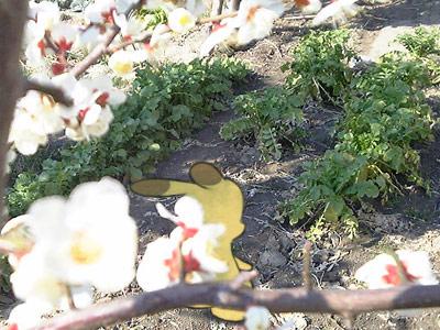 うさ犬ランドトップページの写真更新、大根畑と白梅です。